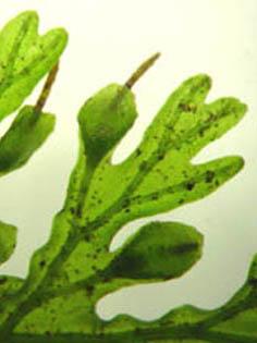 Trichomanes plicatum