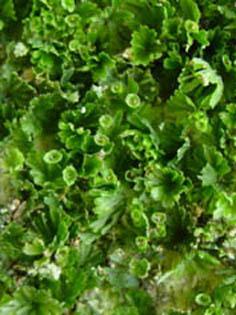 Trichomanes saxifragoides